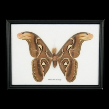 A framed butterfly specimen, Attacus Atlus Moth