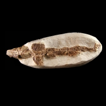 Fossil Fish - Undescribed